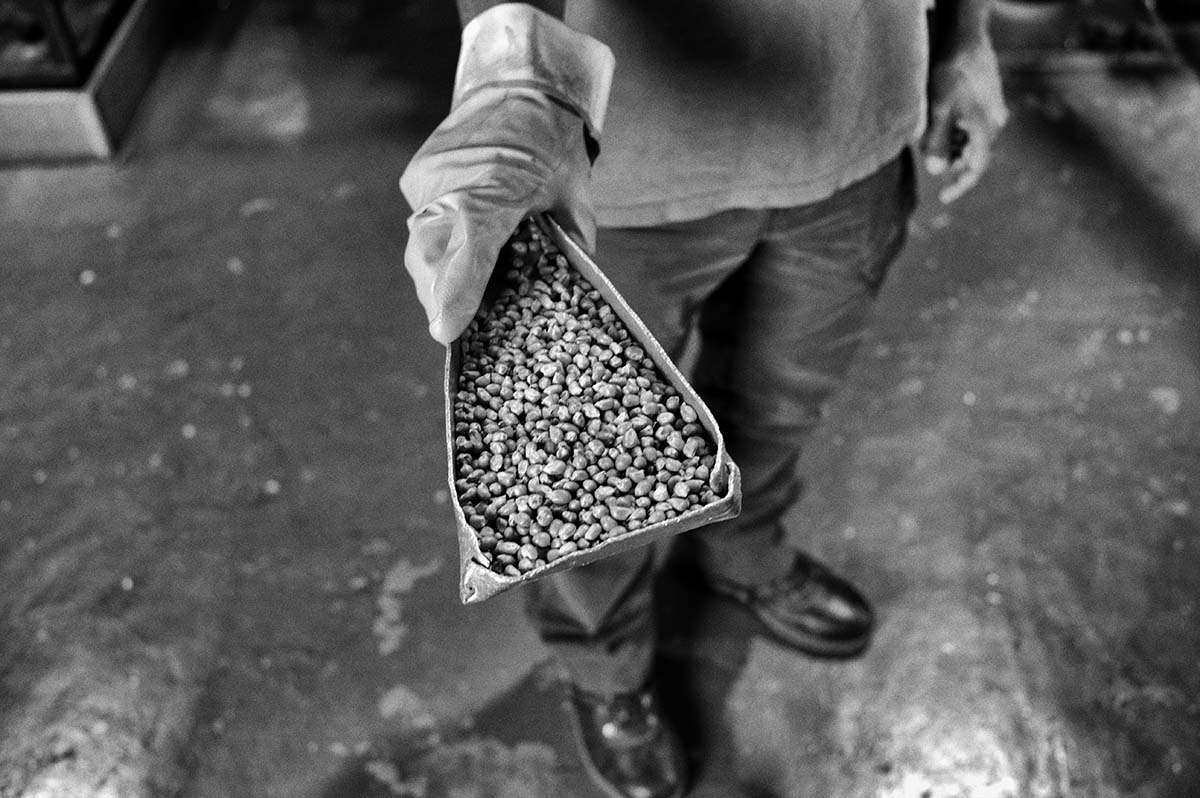 ROJAS, ARGENTINA - MARCH 2014: A worker shows Monsanto GM seeds inside the Monsanto plant in Rojas. Monsanto Factory in Rojas is the world's largest factory in production of transgenic maize seeds.