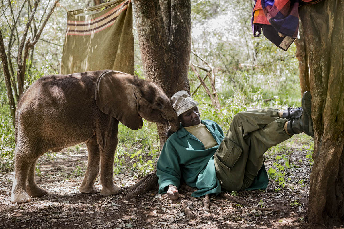 NAIROBI, KENIA - FEBRUARY 2016: A caretaker speaks with a baby elephant at the David Sheldrick nursery Wildlife Foundation Foundation located in the National Park Nariobi.