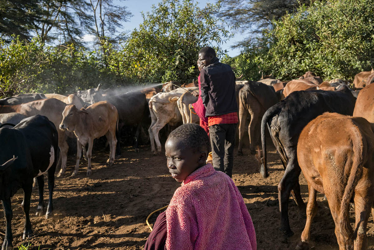 KENIA, AMBOSELI - FEBRUARY 2016: A group of Maasai care for their cattle near the National Park Amboselli.
