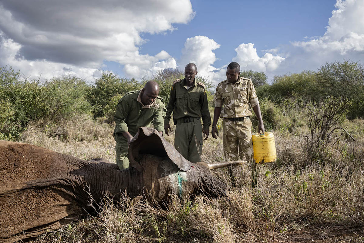 KENIA, AMBOSELI - FEBRUARY 2016: A team of doctors of the foundation David Sheldrick Wildlife Foundation heals a wounded elephant in the national park Amboselli.