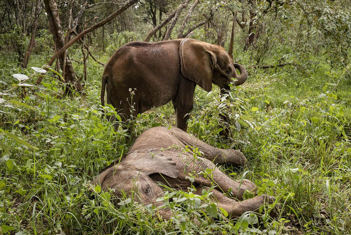 NAIROBI, KENIA - FEBRUARY 2016: Two elephants at the David Sheldrick Daycare Wildlife Foundation Foundation located in the National Park Nariobi. ( Photo by Alvaro Ybarra Zavala)
