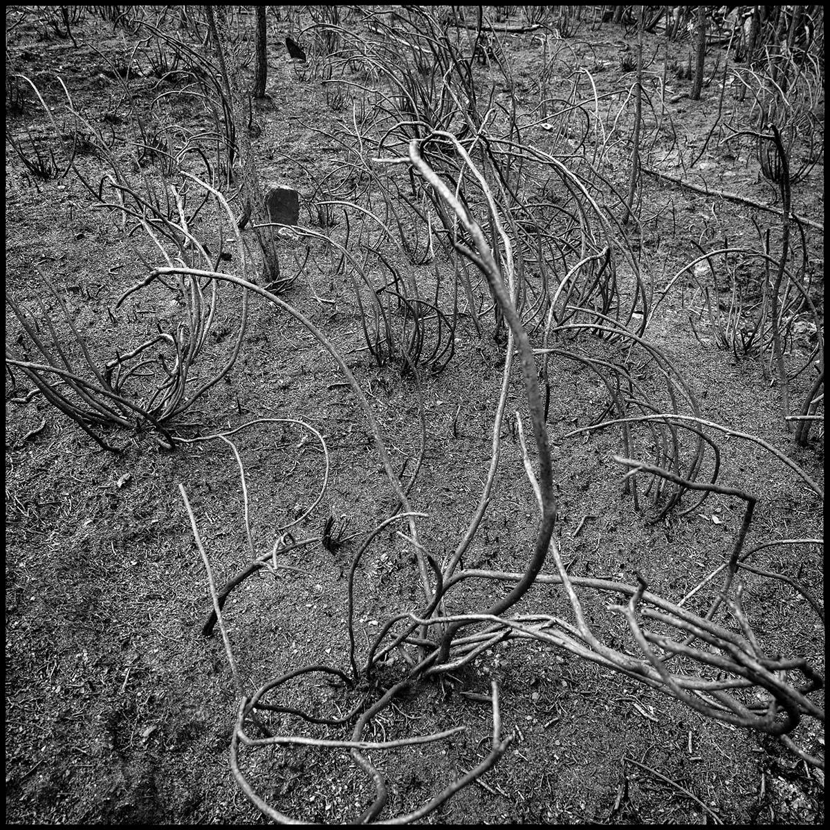 A burnt forest. Pontevedra province