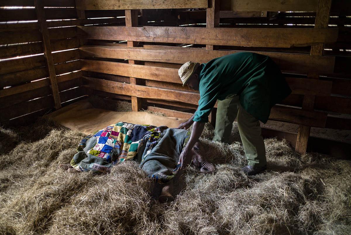 NAIROBI, KENIA - FEBRUARY 2016: A caretaker down to sleep with a baby elephant at the David Sheldrick nursery Wildlife Foundation Foundation located in the National Park Nariobi.