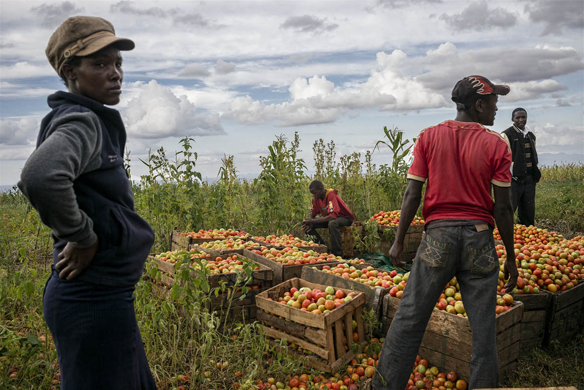 KENIA, AMBOSELI - FEBRUARY 2016: A group of farmers collecting their harvest of tomatoes around the National Park Amboselli.